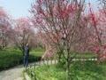 圧倒された枝垂れ梅群